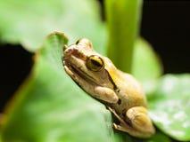 White lipped Tree frog on the leaf - Hyla leucomystax Royalty Free Stock Image