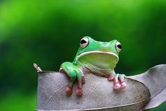 Tree fog, white lipped, frogs. White lipped tree frog on leaf Royalty Free Stock Photo
