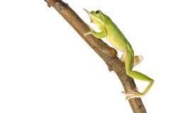 White Lipped Tree Frog - Litoria Infrafrenata. White Lipped Tree Frog  on a white background Royalty Free Stock Photography