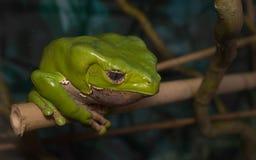 White-lipped tree frog Royalty Free Stock Photos
