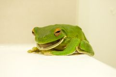 White-lipped Tree Frog with mouth open Royalty Free Stock Photo