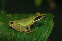 Tree frog on a leaf stock photos