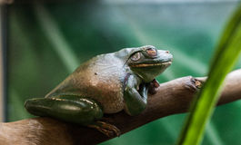 White Lipped Tree Frog Royalty Free Stock Photography