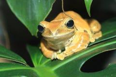 White-lipped tree frog. Lying on the leaf Stock Photo