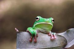Tree fog, frogs, white lipped frog, litoria infrafrenata. White lipped tree frog on wood Stock Image