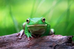Tree fog, white lipped, frogs. White lipped tree frog on wood Royalty Free Stock Image