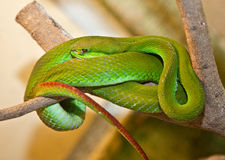 White-lipped Tree Viper. Indonesia. Royalty Free Stock Photo