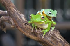 White Lips and flying frog On the Tree royalty free stock photo