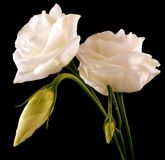 White lisianthus Stock Photography