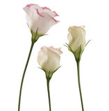 White lisianthus flowers. With pink variegation,trio Stock Photos
