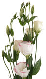 White lisianthus flowers. With pink variegation, top of the flowering spike Royalty Free Stock Photography
