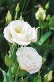White lisianthus flowers Stock Images