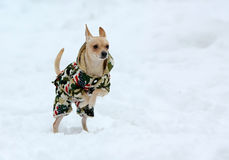 White little active dog in clothes in the snow. royalty free stock photo