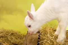 White little baby goat Stock Images