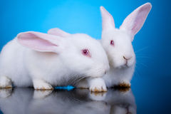 White little bunnies. Couple of white little bunnies on a blue background - closeup Royalty Free Stock Photography