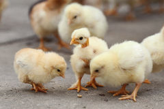 White little chickens Royalty Free Stock Photo