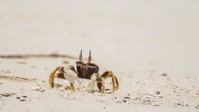 White little crab on light sand. Little curious crab on the coast of Thailand, light sand of the island of Panggang, a crab during hunting, an outflow, Siamese royalty free stock image