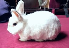 Rabbit. White little cute bunny rabbit Royalty Free Stock Photos