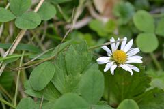 White little daisy on a green field stock images