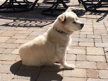 White little dog basking in the sun. This white dog likes to lay on the pavers in the backyard with his body getting as much sun as possible. He will sit for stock images