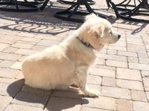 White little dog basking in the sun on Patio. This white dog likes to lay on the pavers in the backyard with his body getting as much sun as possible. He will royalty free stock images