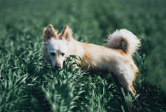 White little dog in field Stock Image