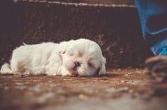 White Little Dog Sleeping royalty free stock image