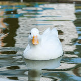 White little duck floats on the water Stock Photography