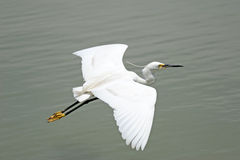White little Egret royalty free stock photo