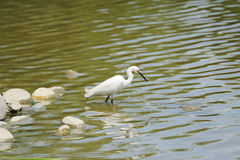 A white little egret Stock Image