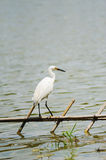 A white little egret Royalty Free Stock Photos