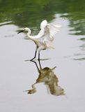 White little Egret Stock Image
