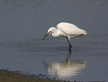 White Little Egret Royalty Free Stock Photography