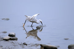 A white little egret catch fish Royalty Free Stock Photography