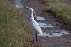 White little Egret in the farm Stock Images