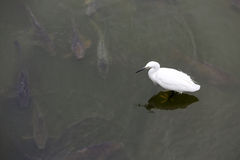 White little egret Royalty Free Stock Photos