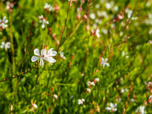 White little flower start blooming on sunshine day. With cool breeze Royalty Free Stock Photo