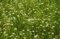 White little flowers. A white little flowers field Stock Photos