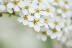 White little flowers with a green background Royalty Free Stock Photo