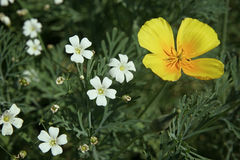 White little flowers and one yellow flower in the flowerbed close up Royalty Free Stock Photography