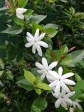 White little flowers smells good Stock Image