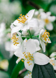 White Little Flowers. In Spring stock photography
