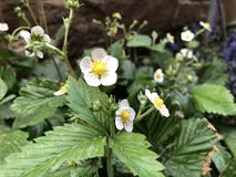 White little flowers strawberry blossoms in garden royalty free stock image