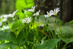 White little forest flowers Royalty Free Stock Image