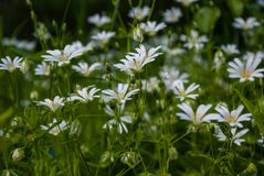White little forest flowers Royalty Free Stock Photography