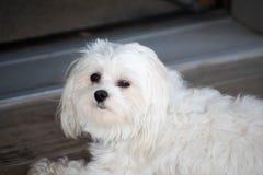 White little Maltese dog relaxing. Relaxing white cute maltese dog in doorway just waking up Stock Image