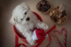 White little puppy bichon frisé stock photos