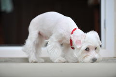 White little puppy that following smells Stock Photo