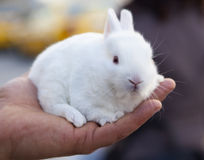 White little rabbit Stock Photography