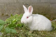 White little rabbit on green grass. Royalty Free Stock Photos